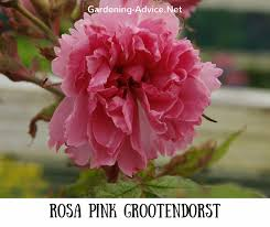 r pink grootendorst rosa pink grootendorst this hybrid rugosa