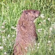 how to keep groundhogs out of my garden. How To Get Rid Of Groundhogs, Woodchucks, And Voles Keep Groundhogs Out My Garden