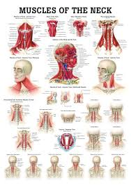 Laminated Anatomical Charts Muscles Of The Neck Laminated Anatomy Chart Muscles Of The