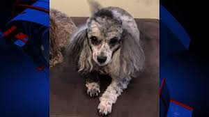 the search for lucy local woman goes above and beyond for missing poodle