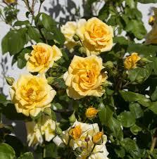 Garden Centre Kitchener Buy Clean N Easy Tea Rose Rose Korbatam In Kitchener