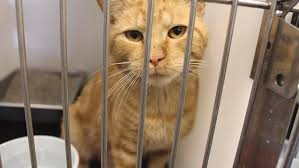 cats in animal shelters. Interesting Shelters Michele Thompson Supervisor Of The Dickinson Animal Shelter Said  Shelter Has Been Completely Full For About A Week Now On Cats In Animal Shelters West Fargo Pioneer