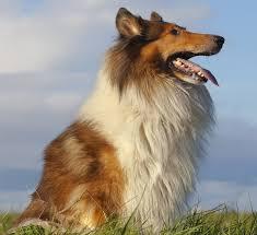 Rough Collie Dog Breed Information Hills Pet