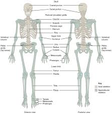 I have broken down the different body parts into sections, and given example sentences showing how to use them in conversation. Divisions Of The Skeletal System Anatomy And Physiology