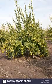 Florida Memory  A Beautiful Banana Tree Bearing Fruit In FloridaTree Bearing Fruit