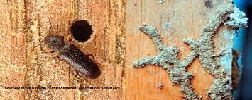 termites vs powderpost beetles our