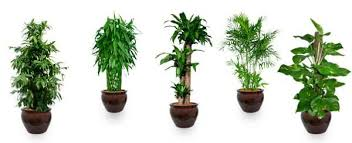 office feng shui plants. Top 10 Air-Purifying Plants To Improve The Feng Shui Of Your Home Or Office T