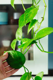Tips & tricks for caring for popular indoor plants: from monstera  deliciosa's and philodendrons,