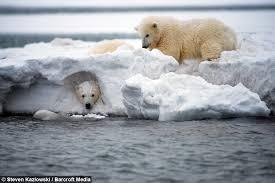 grolar bear size polar bear peek a boo