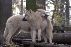 white wolf and black wolf fighting. Delighful Wolf New White Wolves 5 By Lakela  Inside Wolf And Black Fighting I