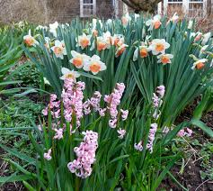 i love the smell of hyacinths but find common varieties better suited to pot culture out doors their heavy flower stems look clunky and tend flowers that like tulips i41