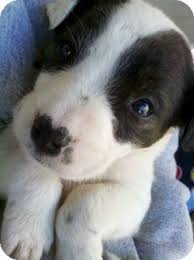 black and white pitbull boxer puppies. Simple Black Litchfield Park AZ  American Pit Bull Terrier Meet Keeper Only 95  Adoption A Dog For Adoption Throughout Black And White Pitbull Boxer Puppies