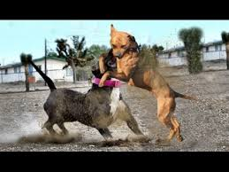 pitbull terrier fight. Perfect Pitbull Pitbull Terrier VS American Bully Inside Fight E
