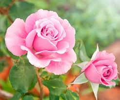 diarmuid gavin the most important character which roses require is that they are beautiful