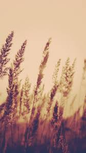 Nature Aesthetic Reed Plant Field Blur ...