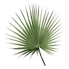 fan palm. fan palm botanical leaf print watercolour