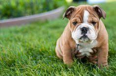 english bulldog puppy wallpaper. Wallpapers English Bulldog Intended Puppy Wallpaper