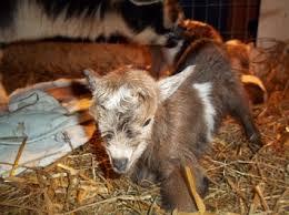 J O Y Farm Lamancha Dairy Goats Home