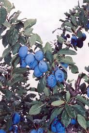 Moonglow Pear Pyrus Communis U0027Moonglowu0027 In Greensboro High Point Fruit Tree Nursery North Carolina