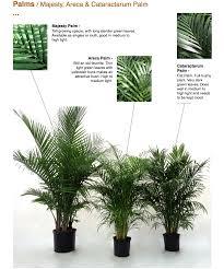 I have majesty & areca palms
