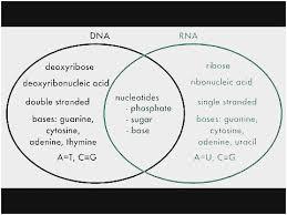 Acid And Base Venn Diagram 70 Astonishing Pics Of Venn Diagram Dna And Rna Flow Block Diagram