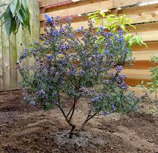 Small Picture Ceanothus Dark Star heat and drought tolerant shrub to small