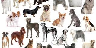 dog breeding when is it ok to breed your puppy