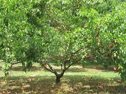 Fruit Tree Sizes - Stark Bro\u0027s
