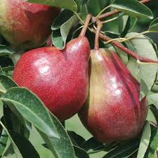Red Sensation Pear  Pear Trees  Stark Brou0027sFull Size Fruit Trees For Sale
