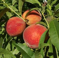 Deciduous Fruit Trees  Gardening Solutions  University Of Fruit Trees For North Florida