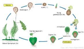 Venn Diagram Of Vascular And Nonvascular Plants Plants Ii Non Vascular And Seedless Vascular Plants