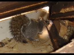 squirrel in ceiling. Interesting Squirrel Squirrels Playing Fighting Breeding In My Attic Ways To Get Rid Of Ceiling  Floor Walls Help Remove To Squirrel In