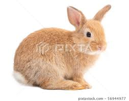 orange brown cute baby rabbit isolated
