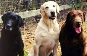 Labrador Color Chart The Genetics Of Color In Labradors