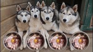 What My 4 Huskies Eat For Breakfast Raw Food Diet Life With 4 Huskies Vlog