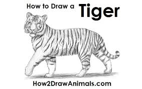 tiger drawing pictures. Exellent Drawing Draw Tiger On Drawing Pictures