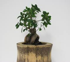 bonsai tree for office. Feng Shui Plants For Office. Office S Bonsai Tree I