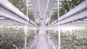 Vertical Led Grow Light Cannabis Farm At Medmen Youtube