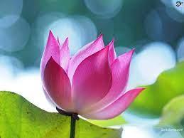 Lotus flower wallpaper, Lotus image ...