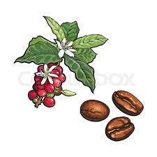 coffee bean plant illustration. Beautiful Coffee Vector Sketch Hand Drawn Coffee Tree Branch With Ripe Berries Leaves And  Flowers Fried Beans Coffee Plant Image Isolated Illustration On A  Intended Bean Plant Illustration C