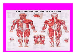 Anatomy Chart Muscular System Audiobooks_ The Muscular System Anatomical Chart Book Full