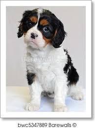 tricolor cavalier king charles spaniel puppies. Art Print Of Tri Color Cavalier King Charles Puppy Champion Lines Barewalls Posters Prints Throughout Tricolor Spaniel Puppies
