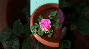 rose plant care in tamil beautiful pink rose