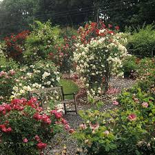 Roses  Fragrant Rose Collection  5 PlantsFragrant Rose Plants
