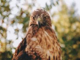 hawk without feathers.  Feathers Meaning Of Redtailed Hawk Symbolism For Hawk Without Feathers W