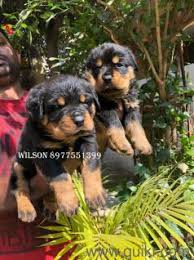 hyderabad no 1 pet top import lines rottweiler puppies are available for