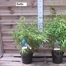 Bambou Non Tra Ant Fargesia Rufa Plantes Et Jardins