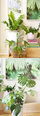 monstera deliciosa swiss cheese plant one of the most loved tropical plant the monstera is very fast growing our 6 inch pot little plant has grown into