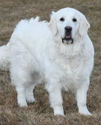 albino golden retriever.  Retriever Golden Retriever Double B  Retriever With Albino