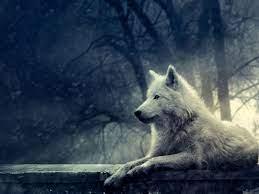 Foto dan Wallpaper Serigala Ukuran ...